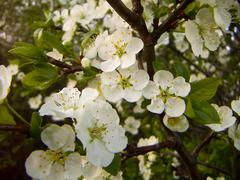 Stock Photo of Apple blossoms