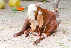 A goat sitting on ground Stock Photos