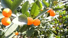 Mandarin Tree Stock Footage