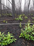 recent burn of boreal forest - stock photo