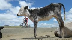 Cyclist riding past calf Stock Footage