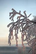 Branch of a tree in snow crystals Stock Photos