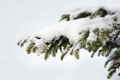spruce twig in the snow - stock photo