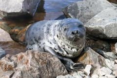 Seal pagophilus groenlandicus Stock Photos