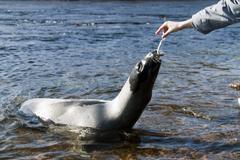 harp seal - stock photo