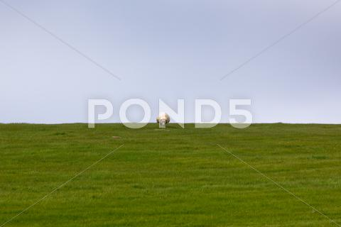 Stock photo of sheep on a green grass meadow