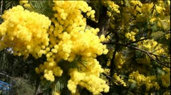 Mimosa Tree Stock Footage