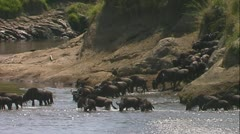 Wildebeest starting river crossing Stock Footage