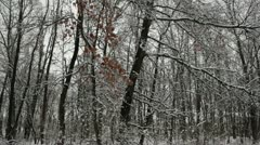 Snow clumps falling from trees in oak forest - pan right to left Stock Footage