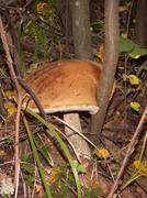 Orange-cap boletus (Leccinum) Stock Photos