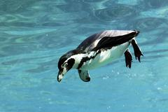 swimming auk - stock photo