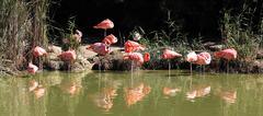 panoramic flamingo - stock photo