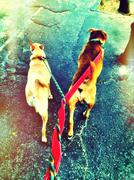 entwined dogs - stock photo