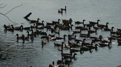 Flock of ducks swimming Stock Footage