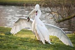 Mute swans display aggressive and tender behaviour during mating ritual Stock Photos