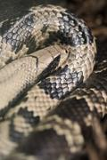 False water cobra hydrodynastes gigas Stock Photos