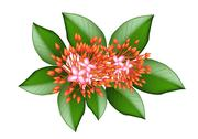 Stock Illustration of A Group of Fresh Red Ixora Flowers