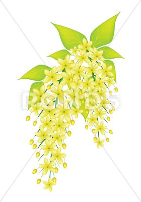 Stock Illustration of Beautiful Cassia Fistula Flower Isolated on White Background