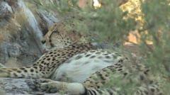 Cheetah relaxing Stock Footage