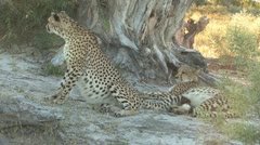 Cheetah looks out for Brother Stock Footage