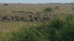 Wildebeest walking across plains after crossing Mara river Stock Footage