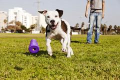 Pitbull käynnissä, kun koiran purulelu Kuvituskuvat