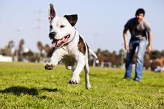 Mid-air running pitbull dog Stock Photos