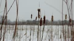 Cattails and prairie wetland grass in snowfall Stock Footage