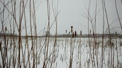 Cattails and prairie wetland grass in snowfall - zoom in Stock Footage