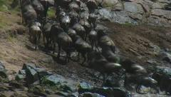Wildebeest climbing up bank other side of river Stock Footage