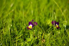 violett flower in gras - stock photo