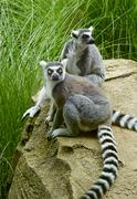 two lemur animals - stock photo