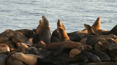 California Sea Lions at Moss Landing Stock Footage