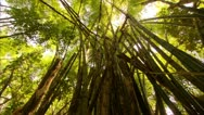 Tilt up to Bamboo Tops in Tijuca Brazil HD Video Stock Footage