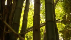 Tilt up to Bamboo Tops in Tijuca Brazil HD Video - stock footage