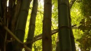 Stock Video Footage of Tilt up to Bamboo Tops in Tijuca Brazil HD Video