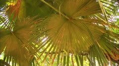 Palm Tree Leaf and Vine in Tijuca Forest, Brazil HD Video - stock footage