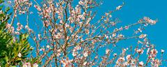 Stock Photo of almond tree