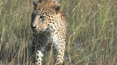 Leopard Tearing off Meat - 3 Stock Footage