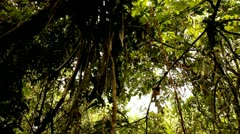 Vines Hanging from Tree, Tijuca Brazil HD Video - stock footage