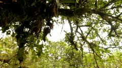 Tree Covered in Moss, Tijuca Brazil HD Video - stock footage