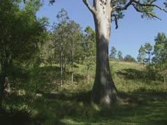 Gum tree - tilt up Stock Footage