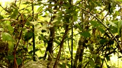 Vines and Small Trees in the Tijuca Brazil HD Video - stock footage
