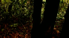 Towering Bamboo Forest, Tijuca Brazil HD Video Stock Footage