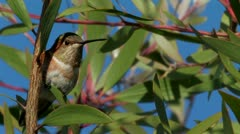 Allen's Hummingbird clings to leaf while blowing in the wind Stock Footage