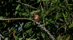 Allen's Hummingbird male dances with wind-blown branches Stock Footage