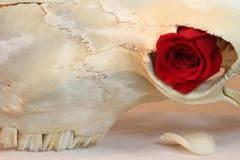 Skull Red Rose Life Death Concept Stock Photos