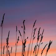 beautiful sunset with wheat grass in the foreground - stock photo