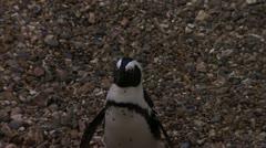 Little Humboldt Penguin on Stone, HD Video Stock Footage