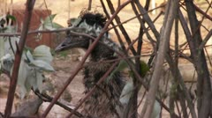 Emu Glares Through Branches HD Video Stock Footage